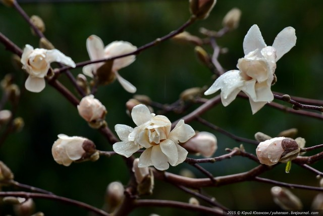 В Никитском саду зацвела первая из пяти произрастающих здесь видов магнолий – магнолия Лебнера