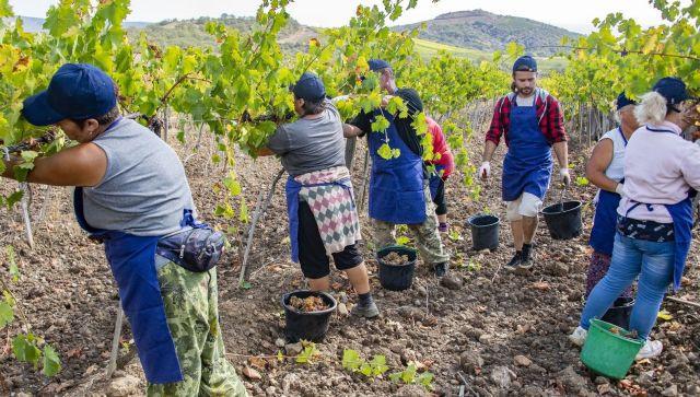 О страданиях лозы: в этом году в Крыму получат уникальное вино