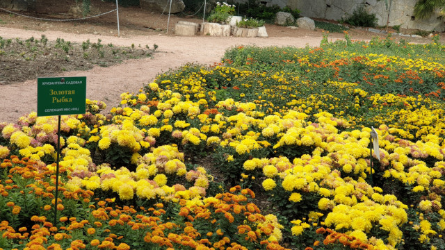 Бал хризантем в Крыму. Новый рекорд Никитского ботанического сада.