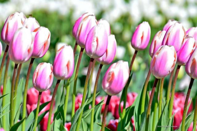 В «Параде тюльпанов-2020» в Никитском ботаническом саду примут участие сто тысяч цветков двухсот сортов