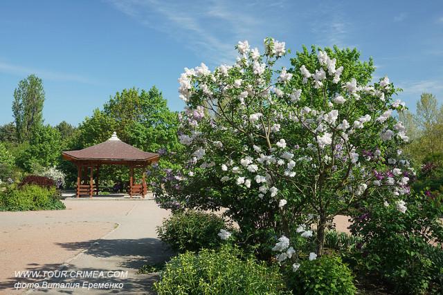 Волшебный аромат цветущей сирени в Воронцовском парке Симферополя.