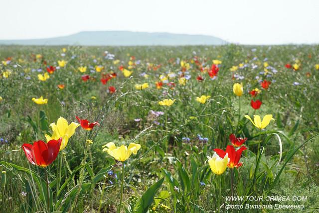 Тюльпаны Кояшского озера у мыса Опук. Любоваться, но не рвать! Берегите уникальную природу Крыма!