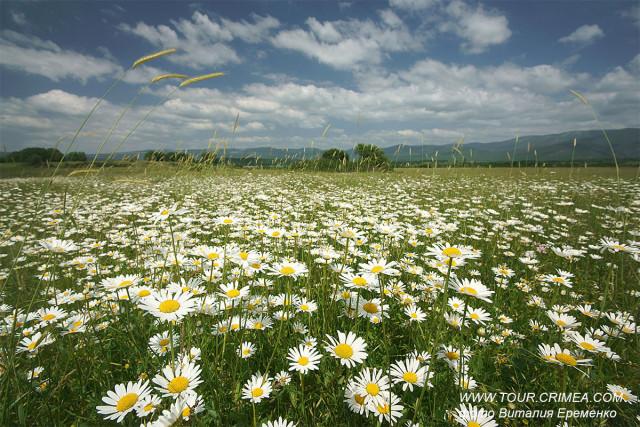 В Крыму в мае зацвели ромашковые поля!