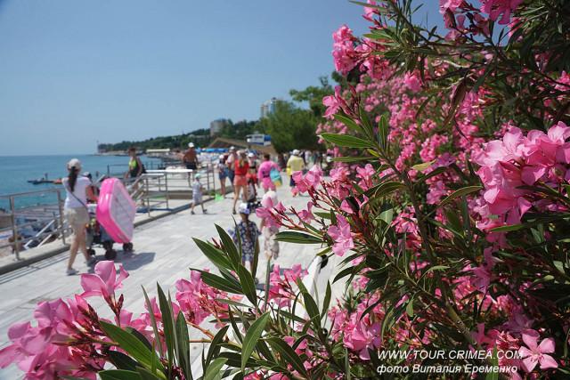 Цветущий олеандр на набережной Гурзуфа.