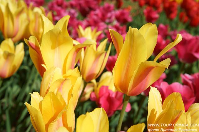 """""""Парад тюльпанов 2019"""" - в Никитском саду. Спешите видеть!"""