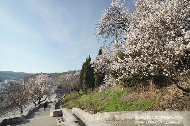 В Крым пришла настоящая весна! На Южном берегу Крыма зацвел миндаль
