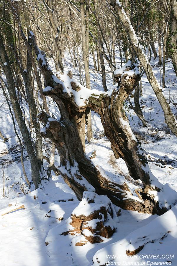 Живописная коряга в крымском лесу.