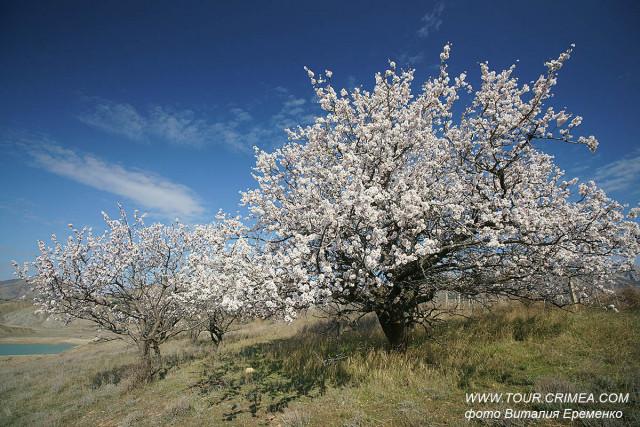 Щедрость цветущего крымского миндаля  у п.Солнечная долина