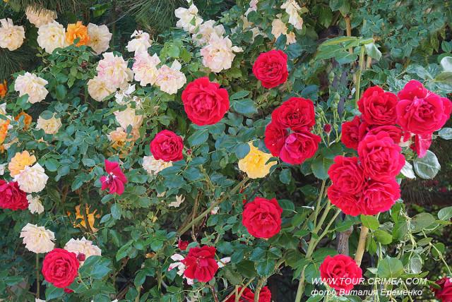 Благоухающие розы Крыма или цветочное великолепие июня.
