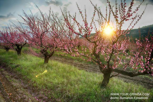 Цветущий персиковый сад в окрестностях Бахчисарая. Наслаждение прекрасным.