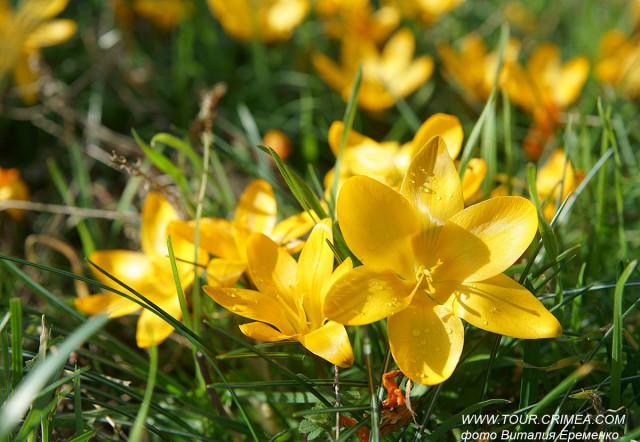 Март. Время цвести крокусам, или в Крыму  - чудесная и теплая весна!