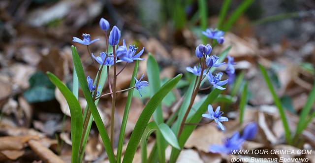 """""""Синие подснежники"""", или пролески - нежные крымские первоцветы."""