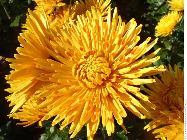 50 тысяч цветов, 131 дебютантка, восьмилепестковое чудо и другие сюрпризы  Бала хризантем в Никитском ботаническом саду