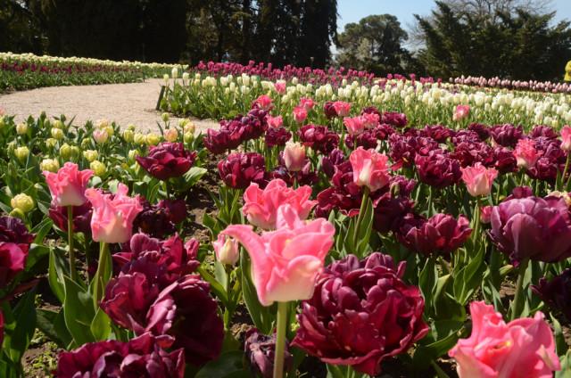 Сюрпризы Парада тюльпанов 2019