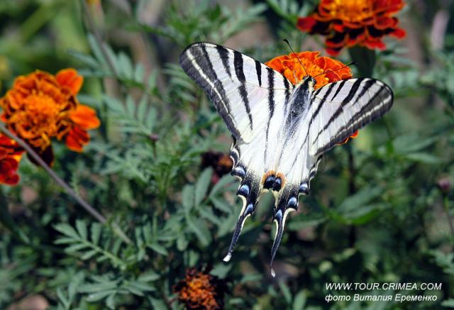 Бабочка Подалирий в Крыму - одна из самых красивых и крупных бабочек полуострова.