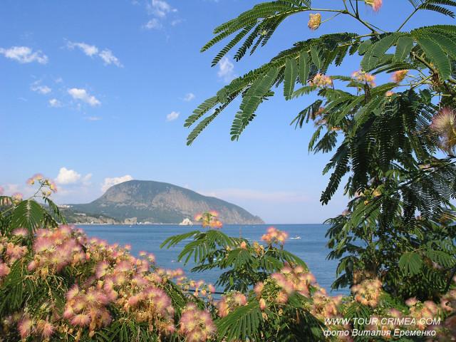 В Крыму в конце июня цветет сладким запахом ленкоранская акация