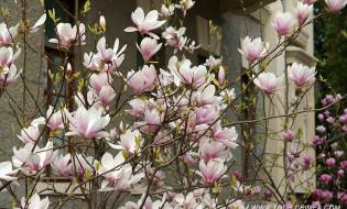 В Ялте в марте 2020 г. начала  цвести прекрасная магнолия Суланджа.