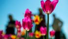 Около ста тысяч тюльпанов расцветут весной в Никитском саду