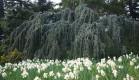 В Никитском Ботаническом саду перед выставкой тюльпанов уже цветут нарциссы!