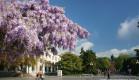 В Крыму цветущий праздник - время цветения глицинии, красавицы Южного берега Крыма!