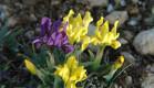В Крыму на морском побережье в марте 2020 г. красиво цветут карликовые ирисы.