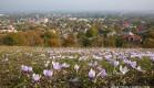Осень в Симферополе. Цветение крокусов.