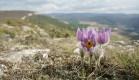 Весна на пещерном монастыре Челтер-Мармара. Цветущая сон-трава.