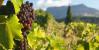 Сентябрь - время изобилия крымских фруктов и овощей. Пробуем крымский виноград!